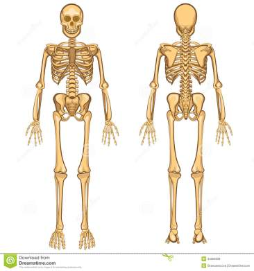 human-skeleton-vector-illustration-body-anatomy-internal-organ-34569329