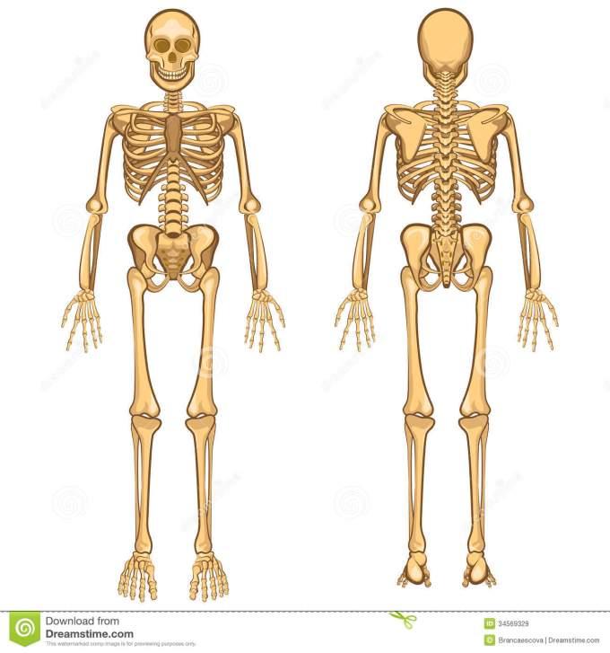 human-skeleton-vector-illustration-body-anatomy-internal-organ-34569329